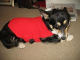 … I knit a sweater for my corgi